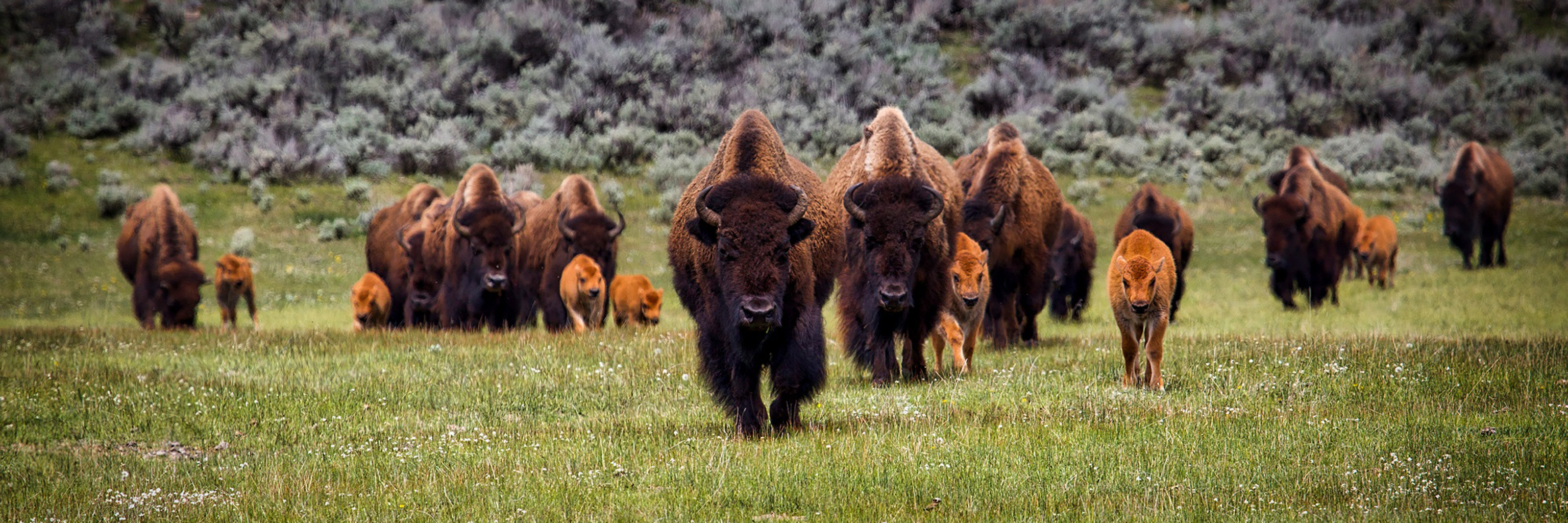 A herd of bison in a prairie