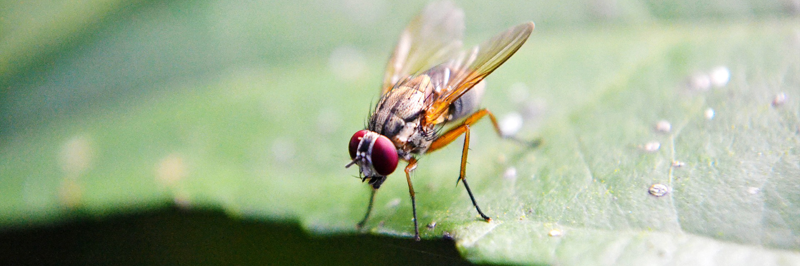 A fruit fly landing