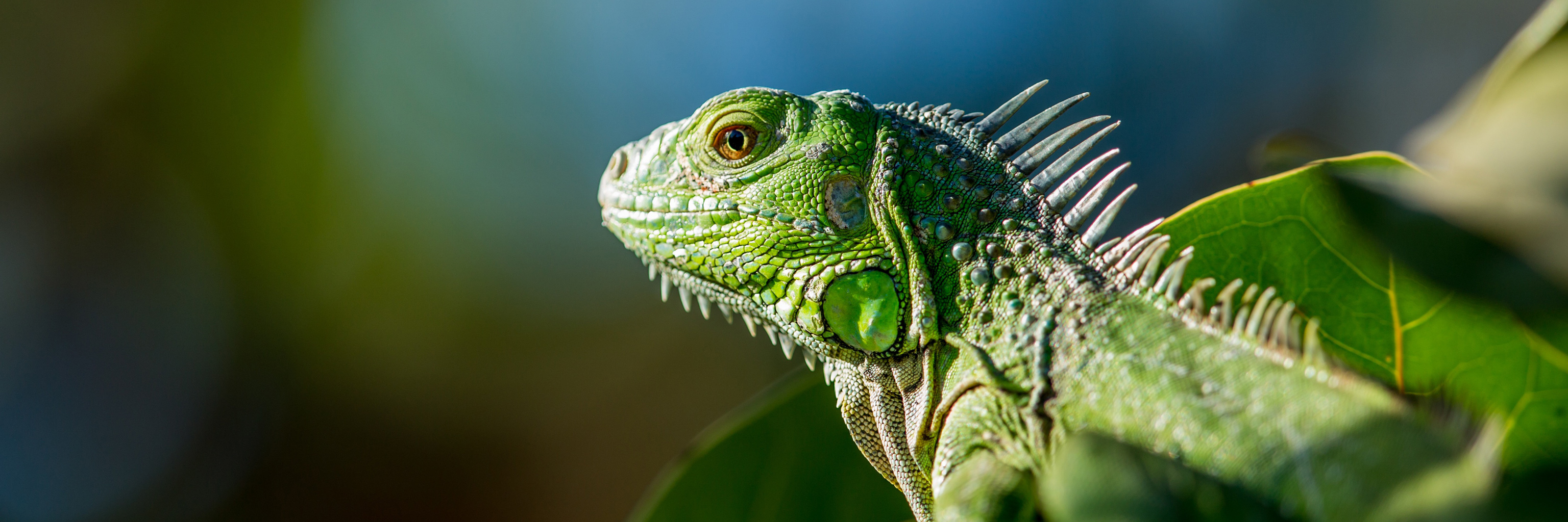A green iguana looking to the left