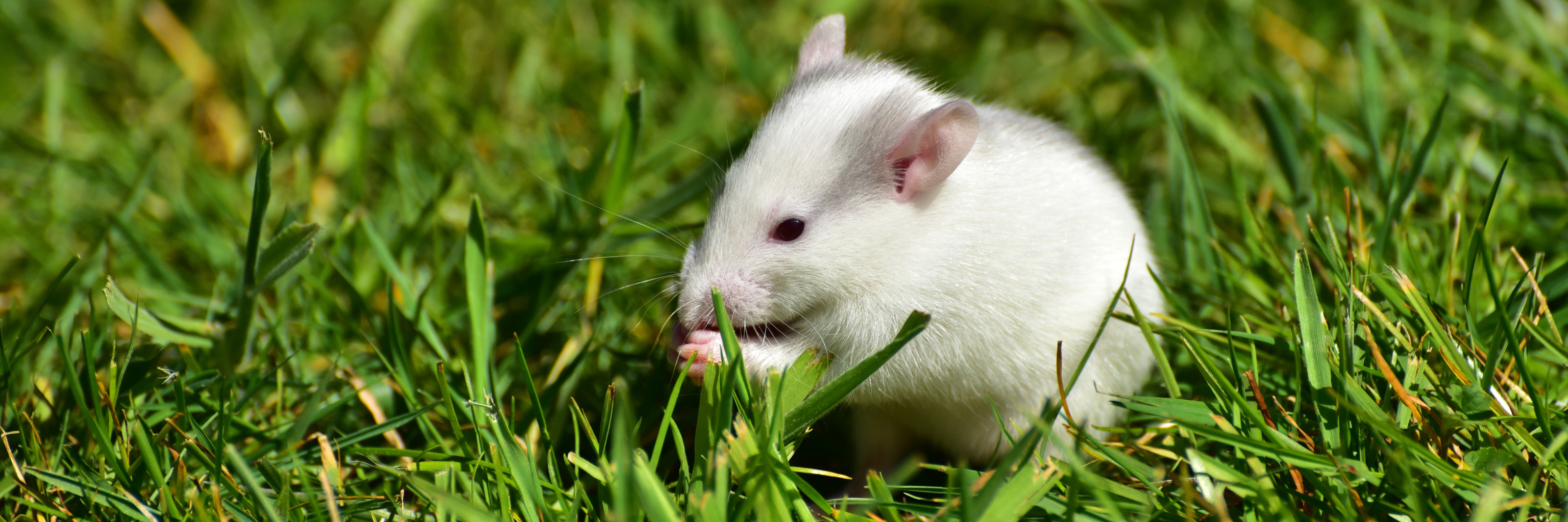 A white rat in green grass