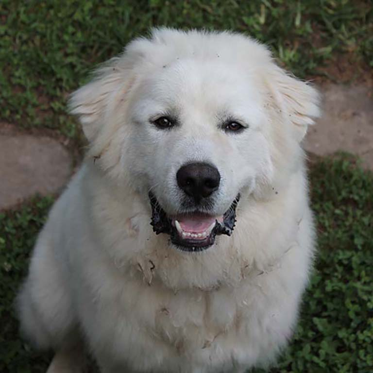 A friendly Great Pyrenees dog. Picture taken by Terri Greene